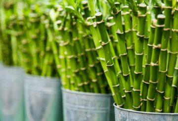 Бамбук по фен-шуй